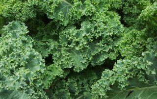 Fresh Kale from the Garden
